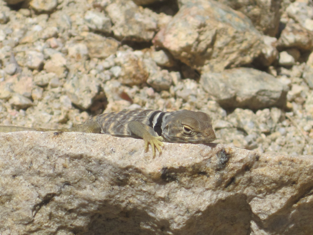 A lizard with black and white stripes in Joshua Tree.