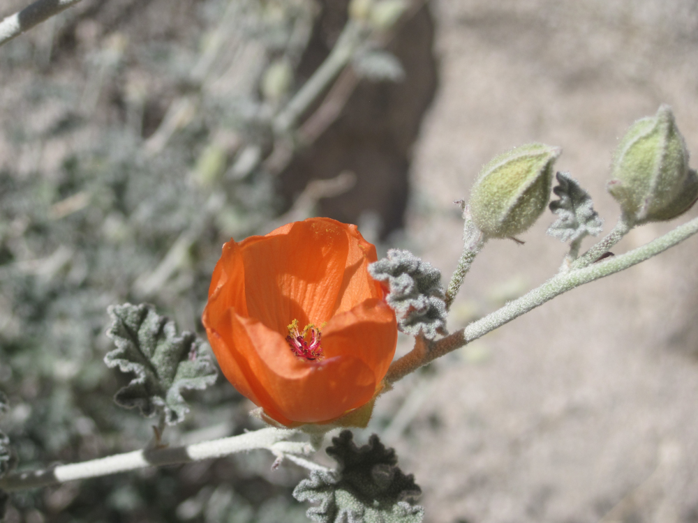 An orange apricot mallow flower blooming in Joshua Tree National Park.