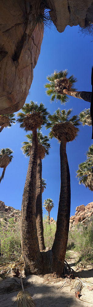 Vertical panorama image of a palm tree.