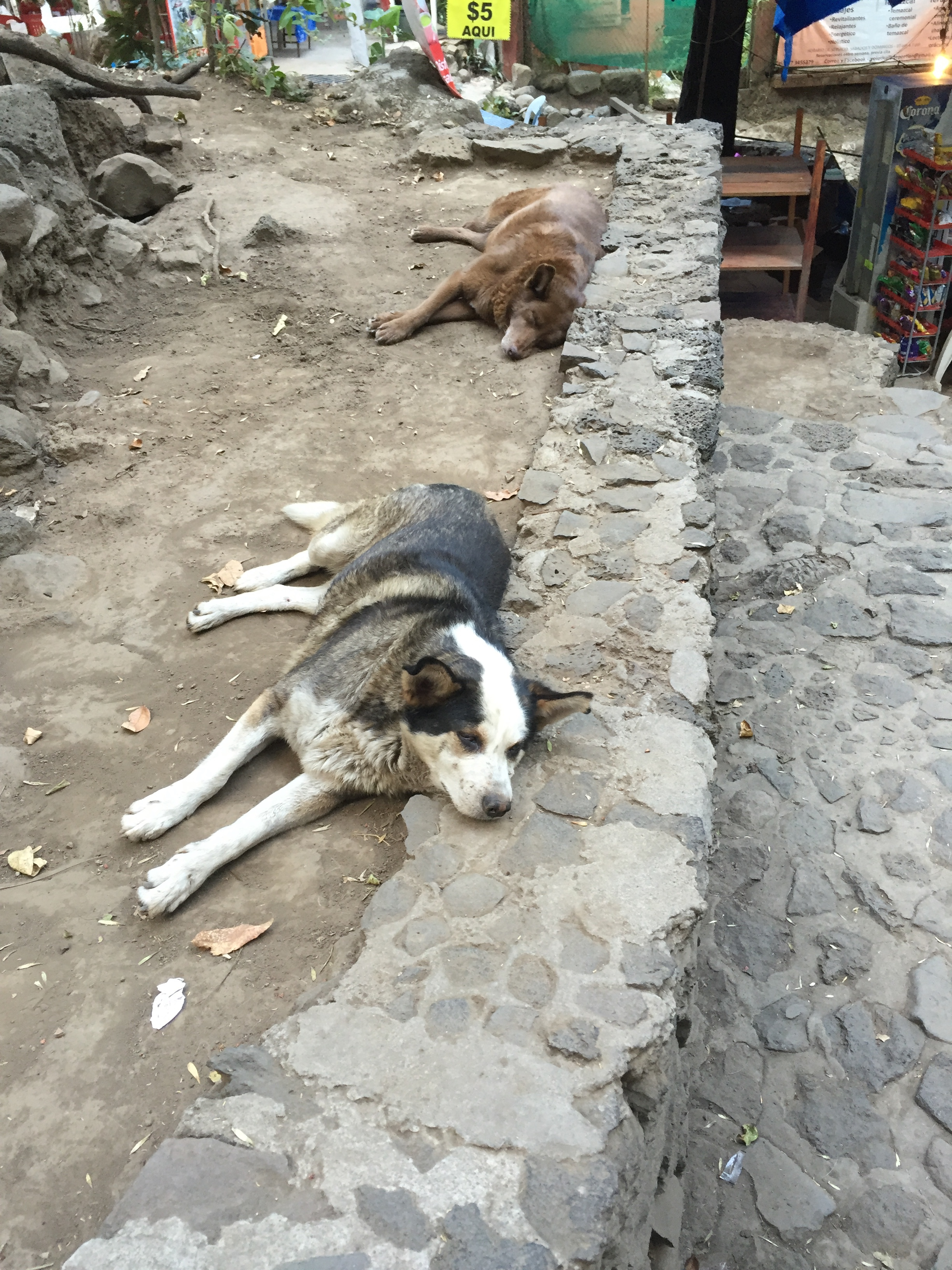 Two fat dogs sleeping in the dirt in Tepoztlan.
