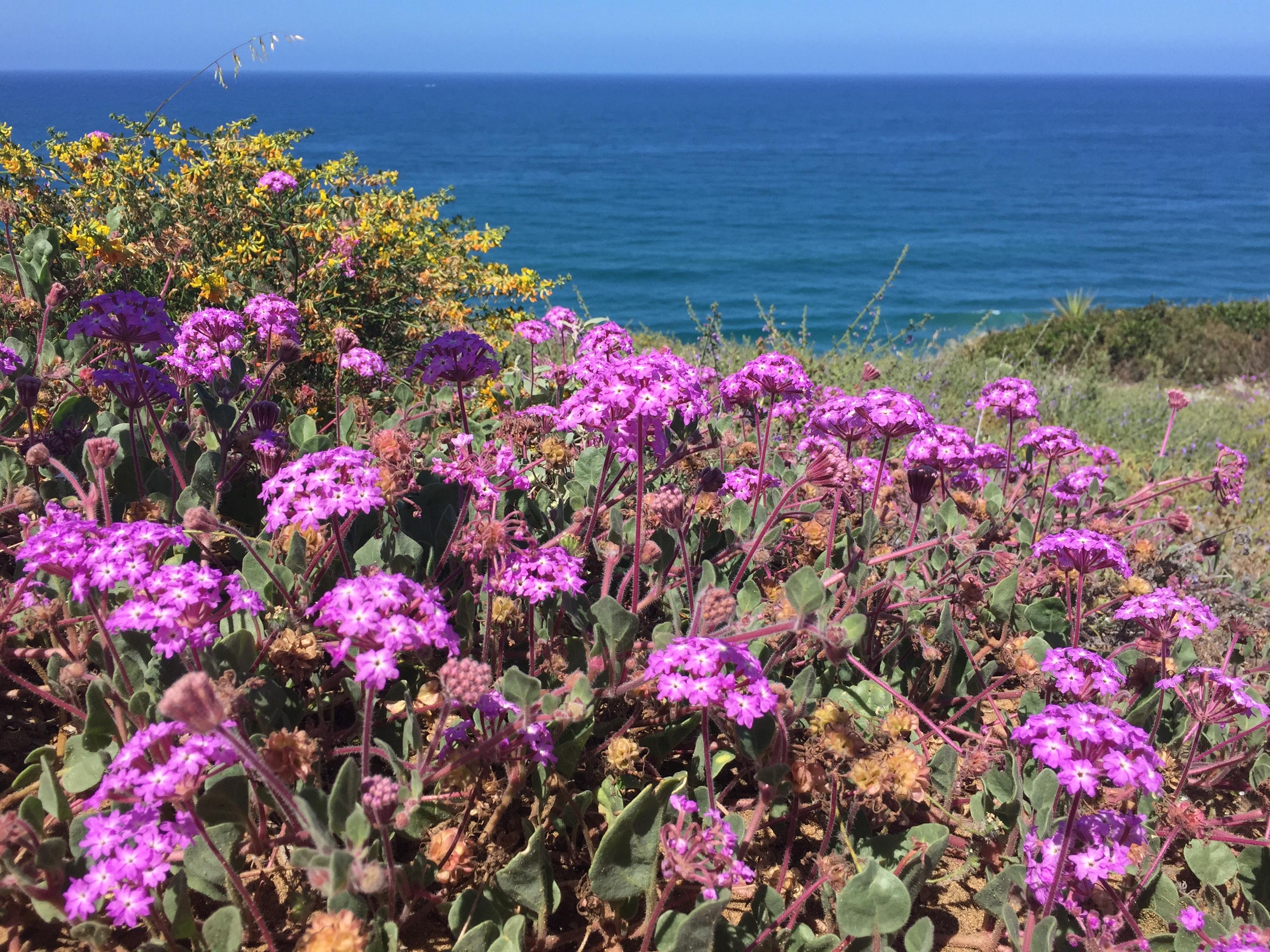 Purple flowers above the ocean in San Diego.