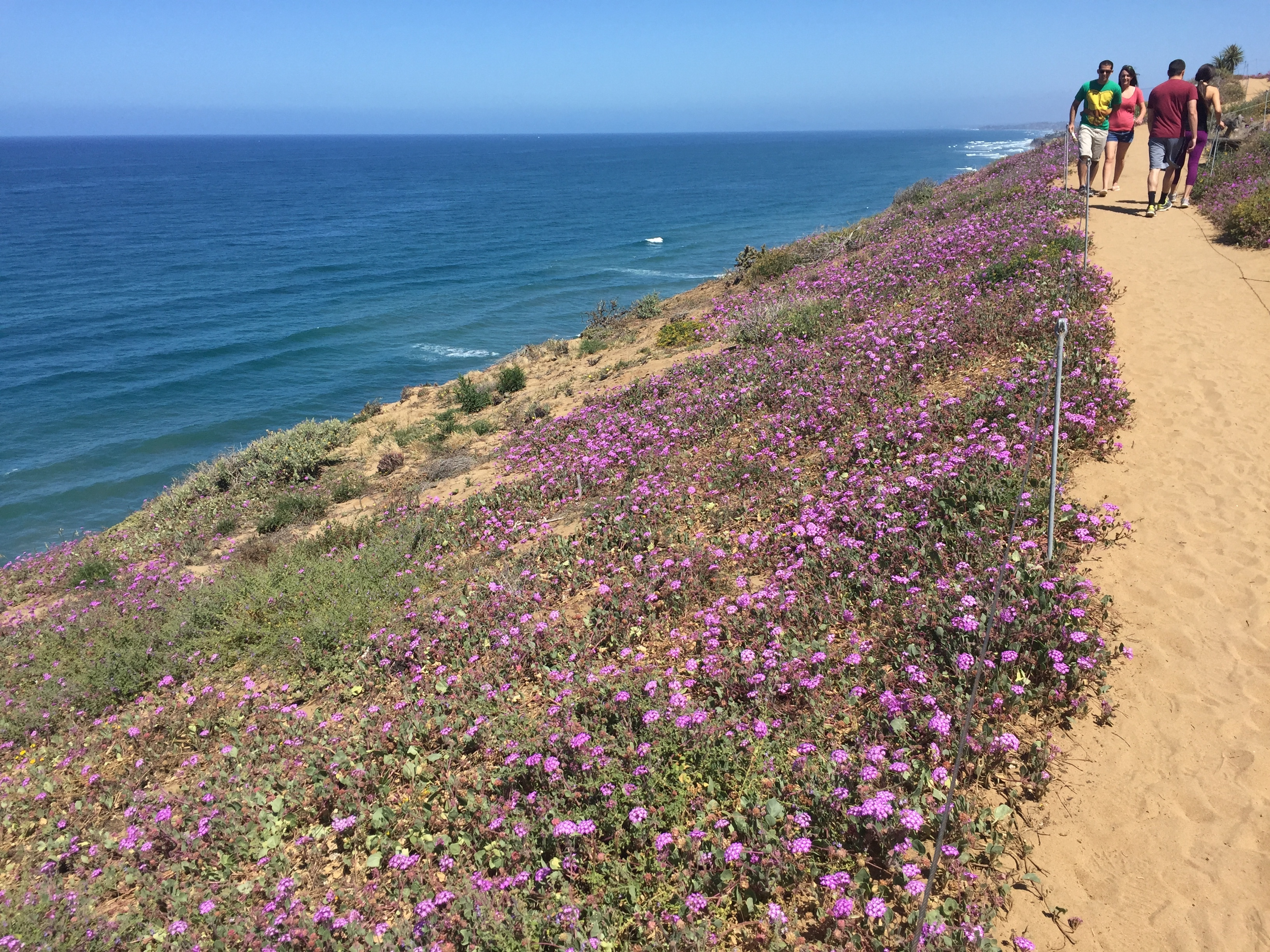 Purple flowers along a dirt pathway above the ocean.