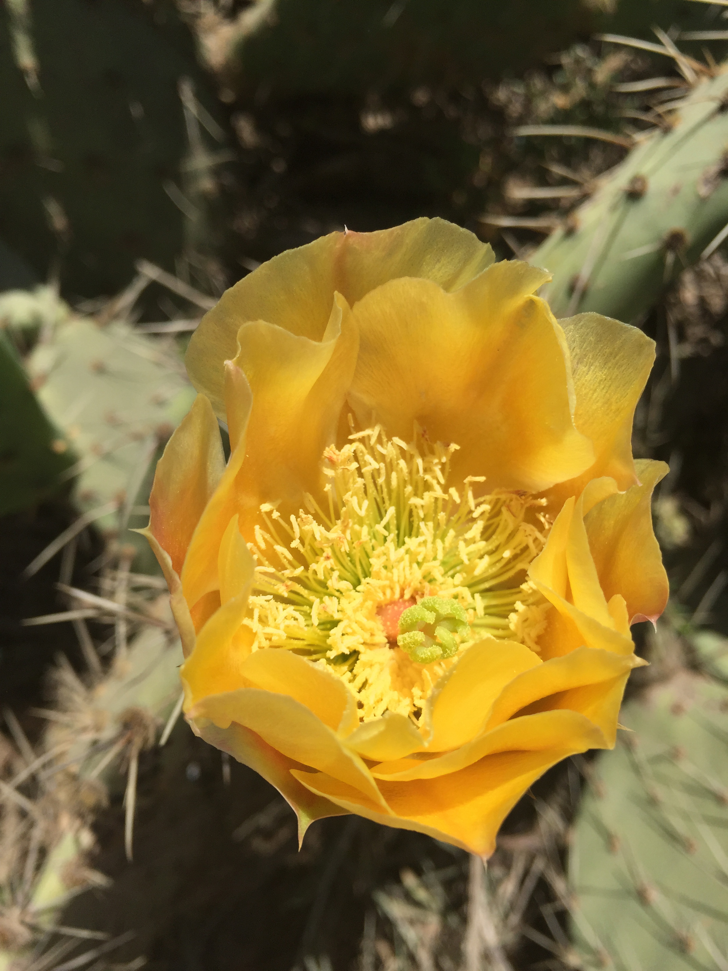 A blooming yellow cactus flower at Torrey Pines.
