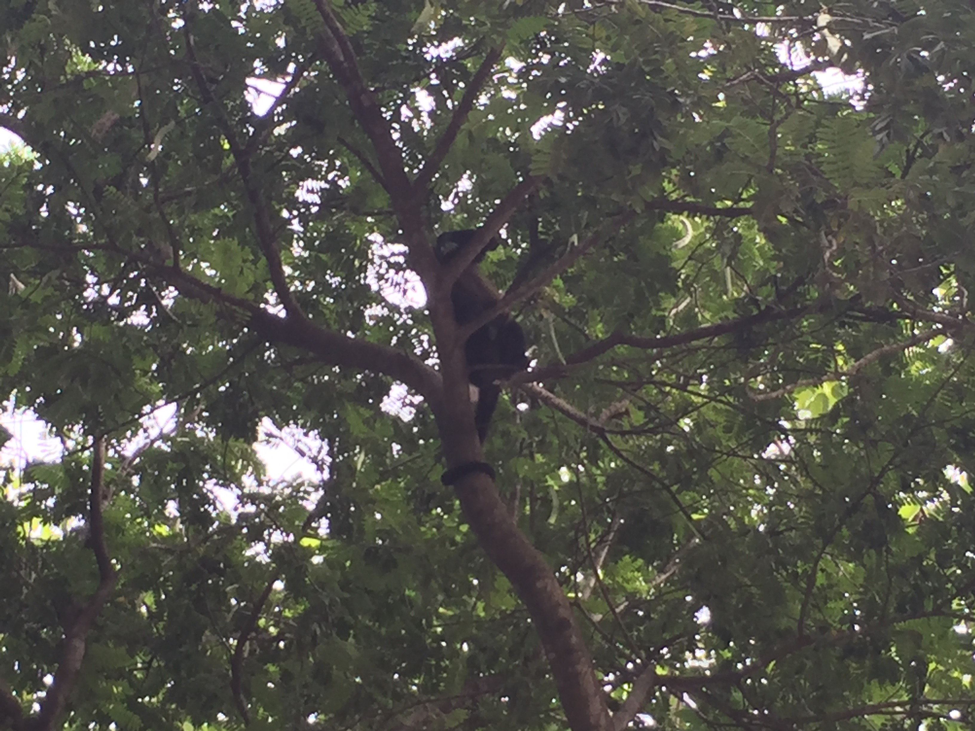 A monkey climbs in a tree in Nosara, Costa Rica.