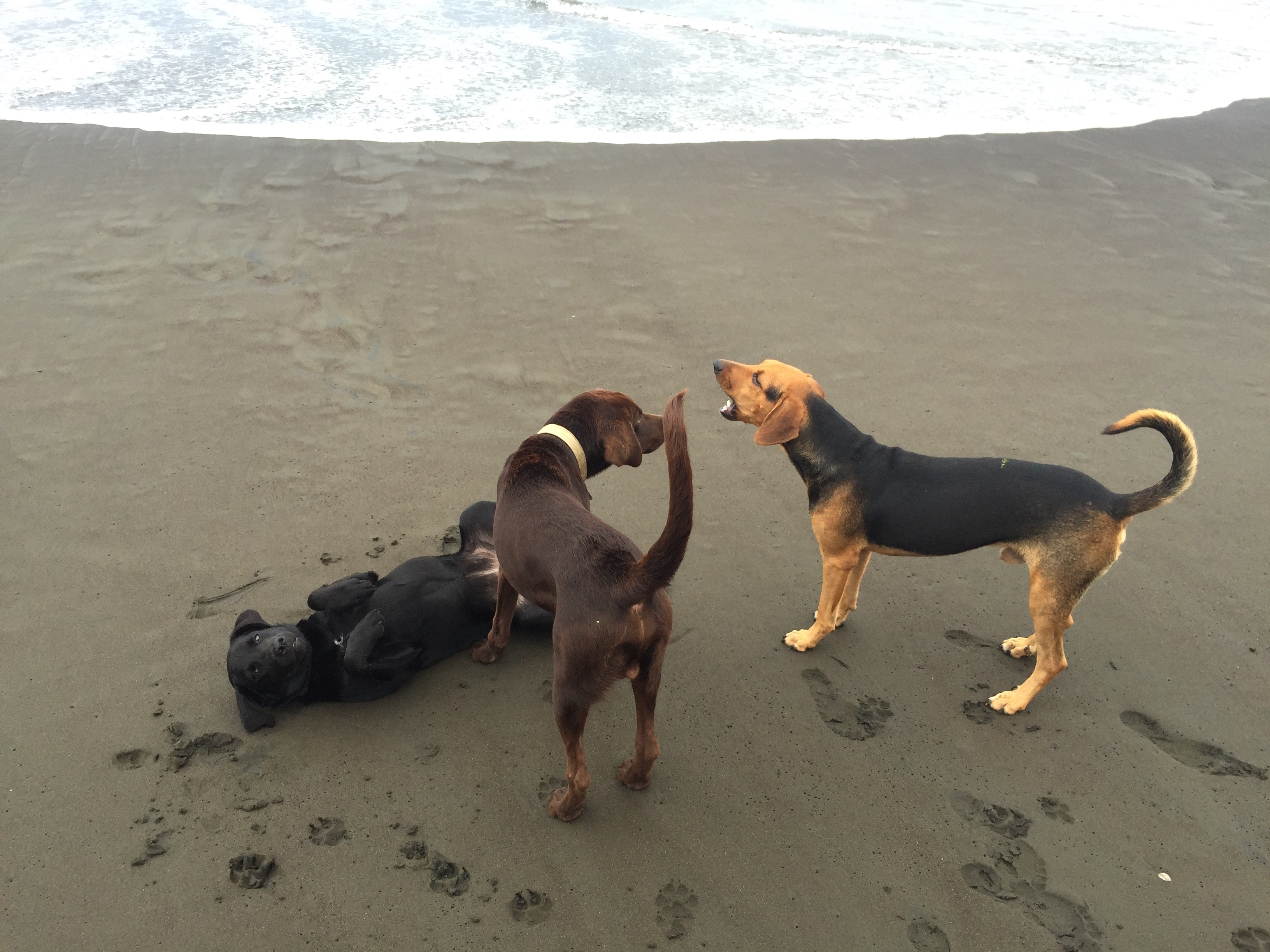 Three stray dogs play on the beach at Playa Avellanas in Costa Rica.