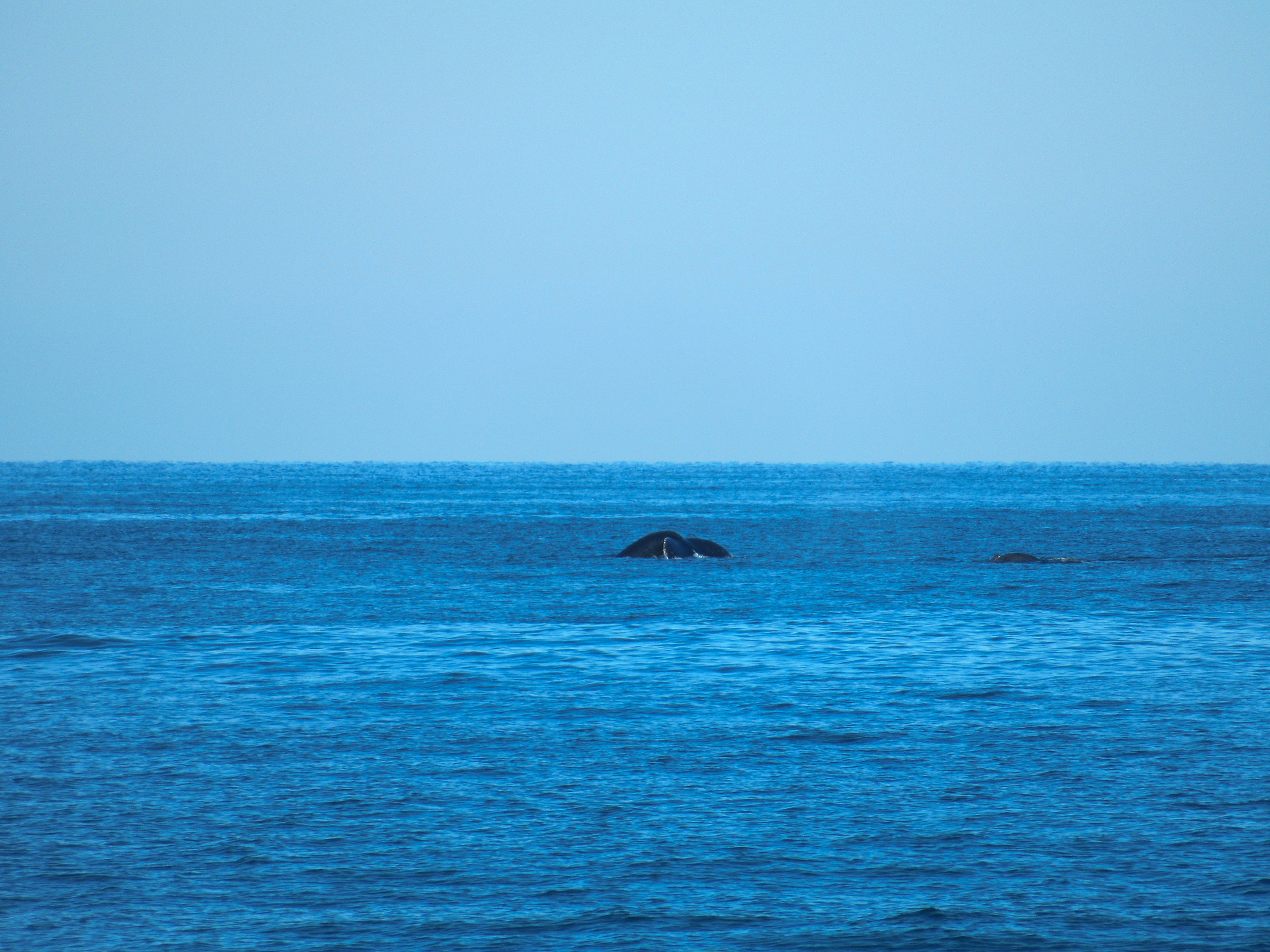 A whale surfaces in banderas bay.
