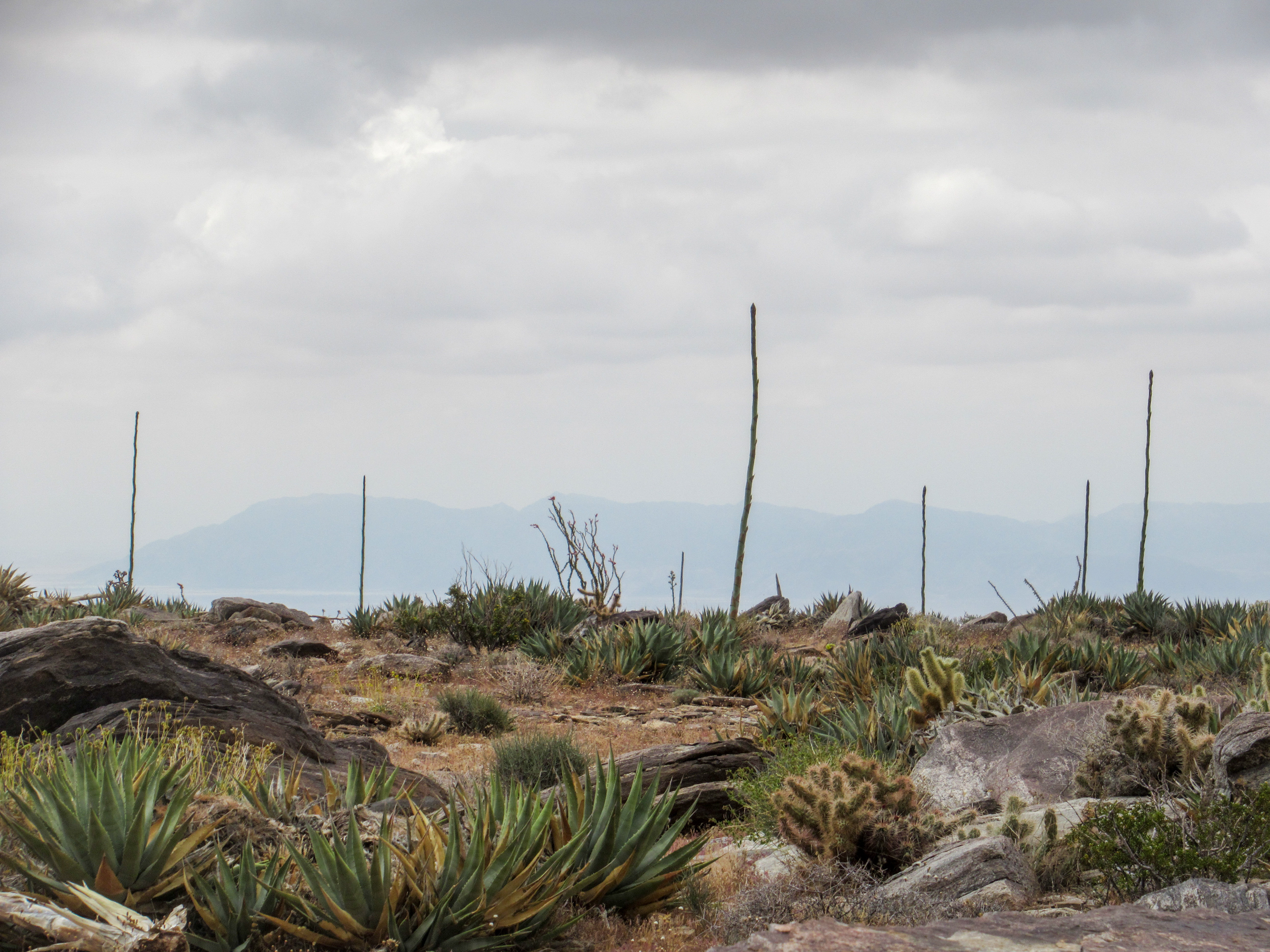 Agave shoots in the Anza Borrego desert.