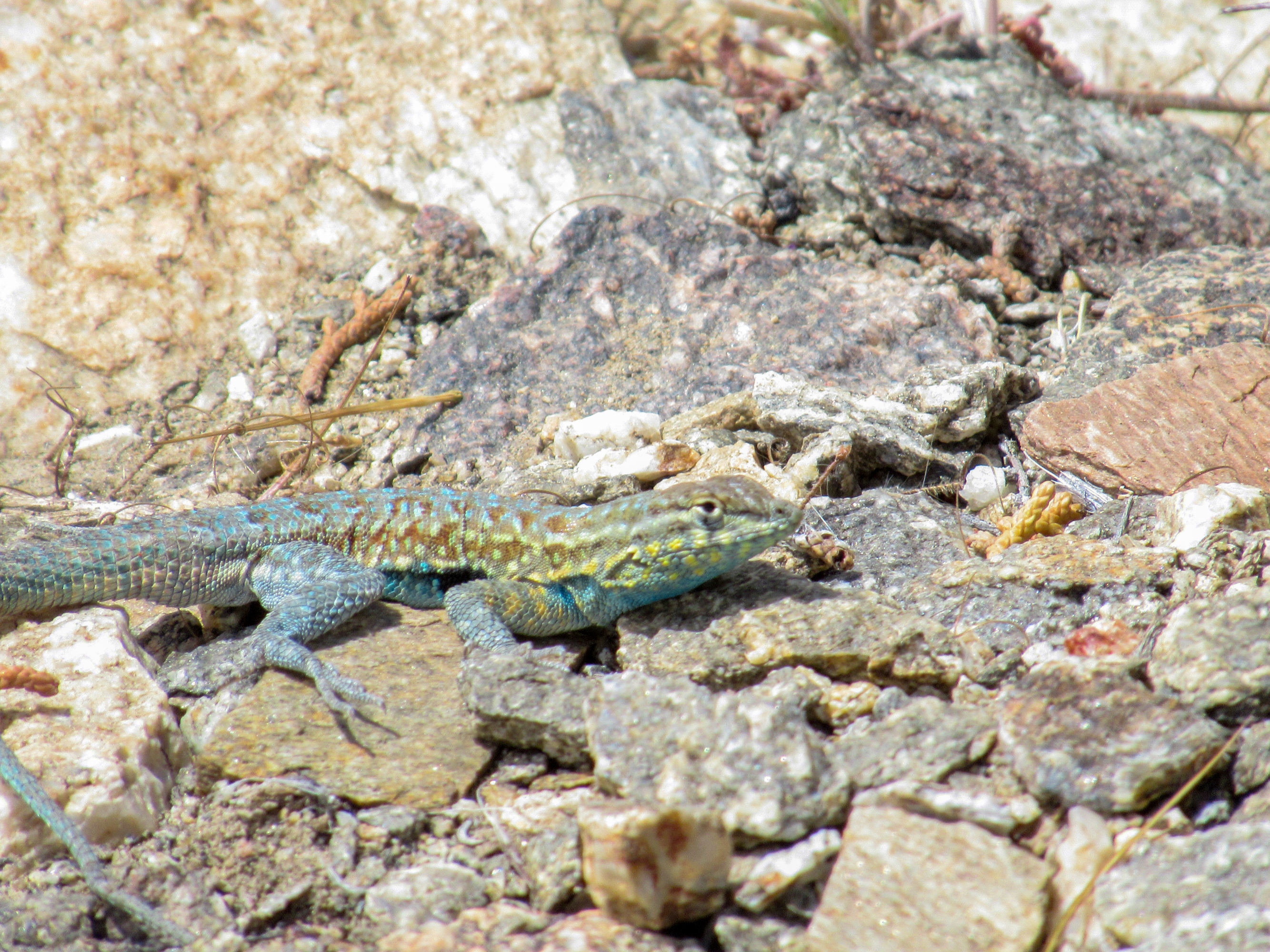 Whiptail lizard with yellow and blue markings.