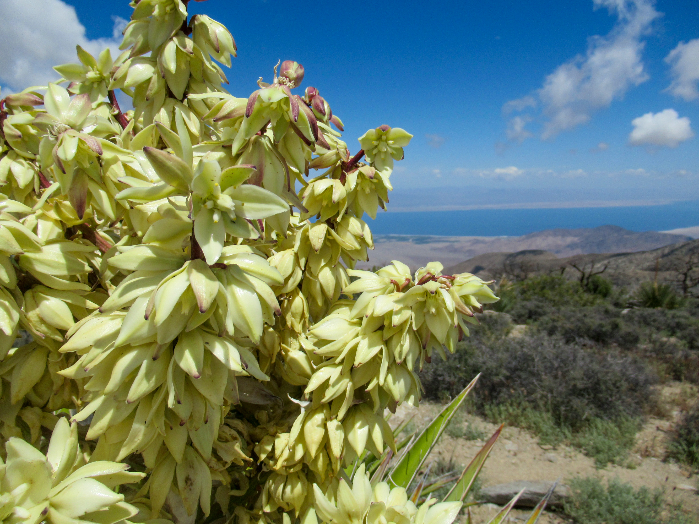 Flowing Yucca plants above the Salton Sea.