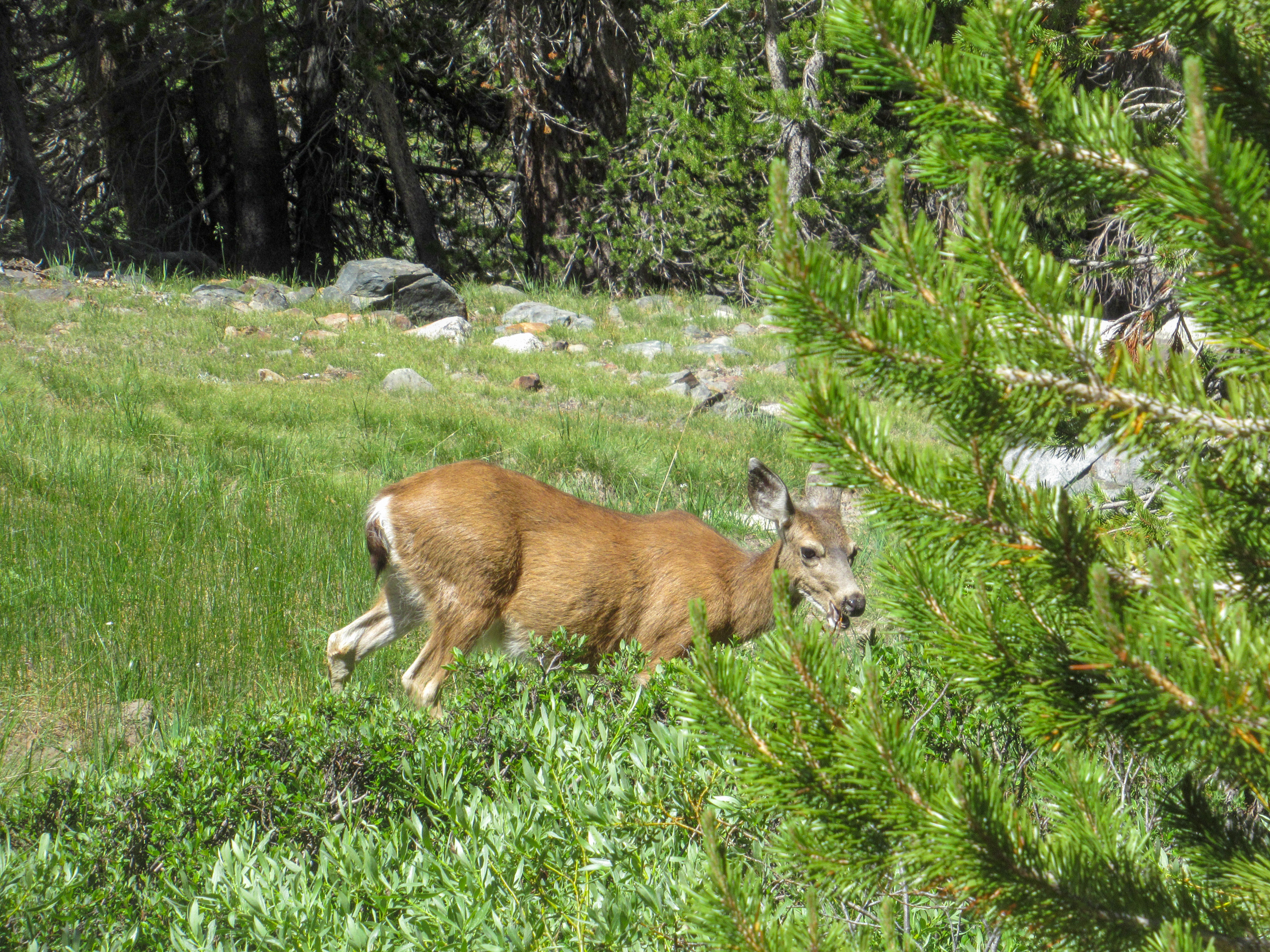 A deer seen at Mono Pass in Yosemite.