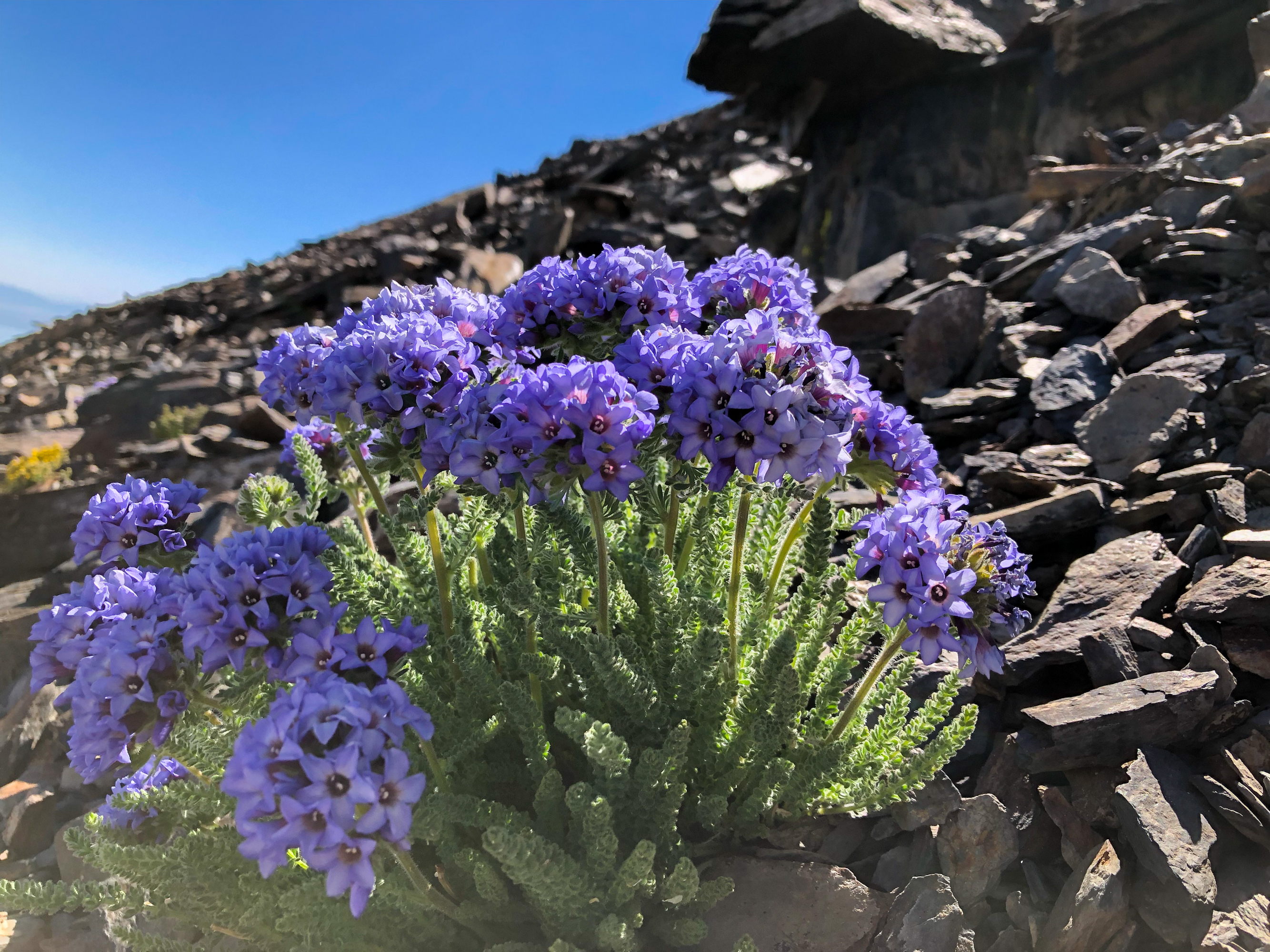 Purple sky pilot flowers blooming on Koip Pass in the Sierra Nevada Mountains.