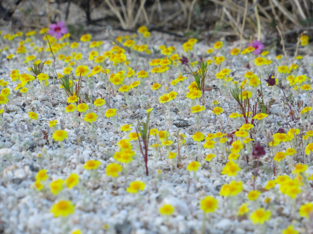 Yellow desert flowers in the Anza Borrego desert.
