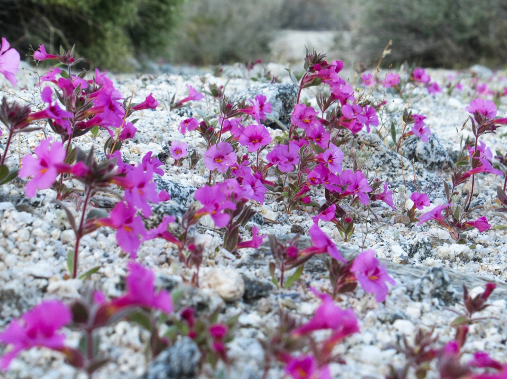 Purple flowers in the Anza Borrego desert.