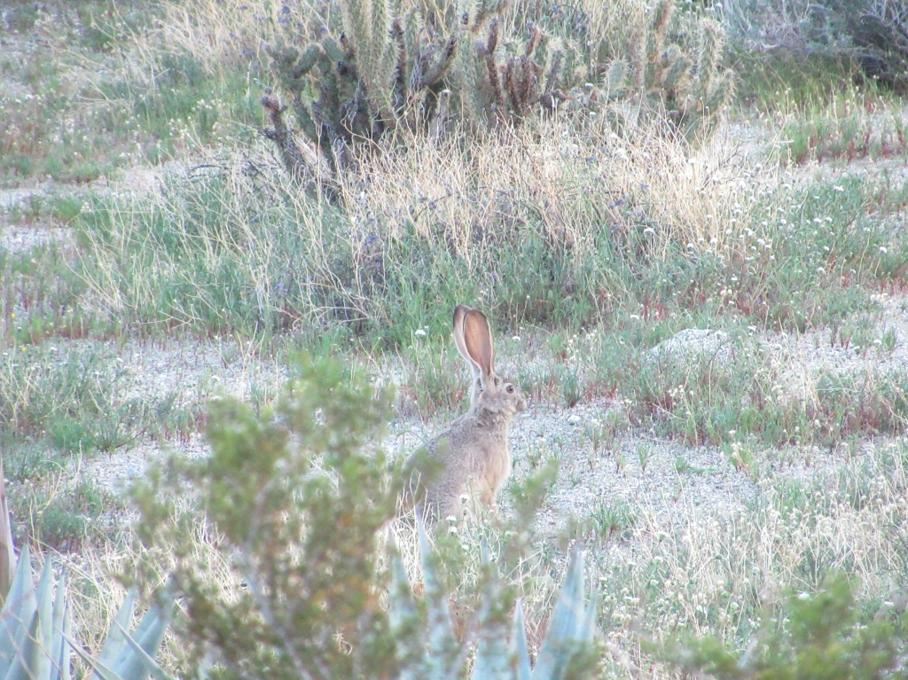 Rabbit listening in the Anza Borrego desert.