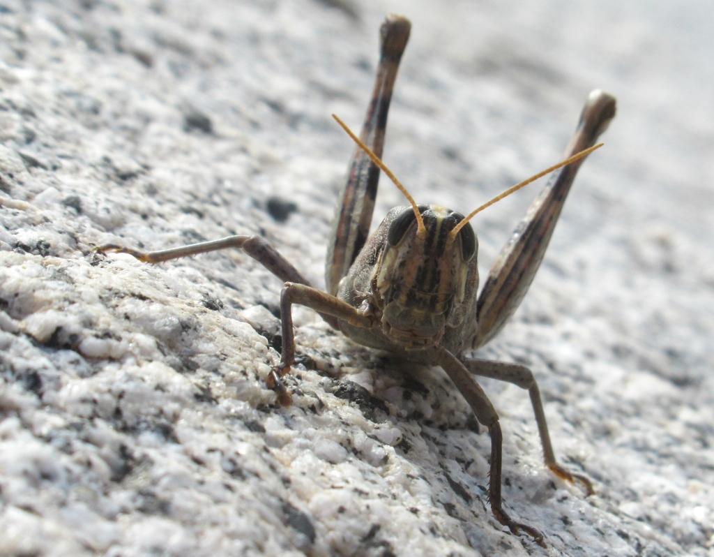 Grasshopper Anza Borrego.