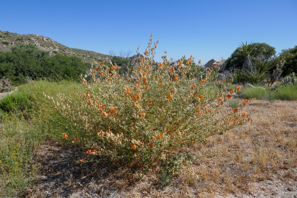 Apricot mallow flowers blooming orange near jacumba Peak.