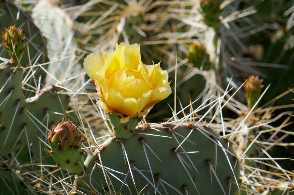 Flowering prickly pear cactus near Jacumba Peak.