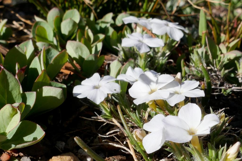Granite Gila flowers Kearsarge Lakes.