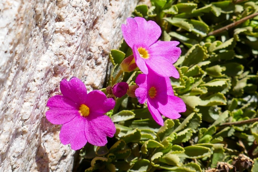 Sierra Primrose Flower.