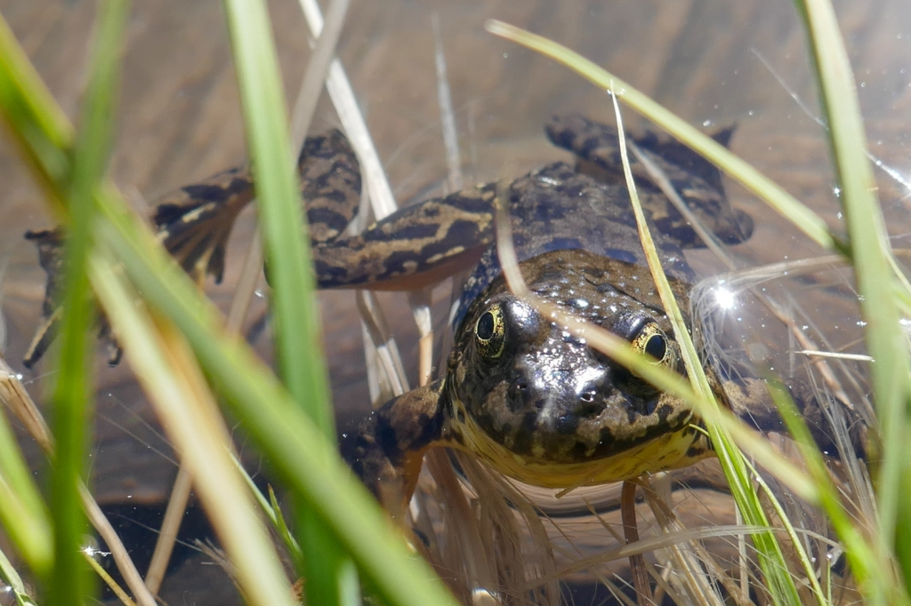 Yellow Legged frog Matlock Lake.