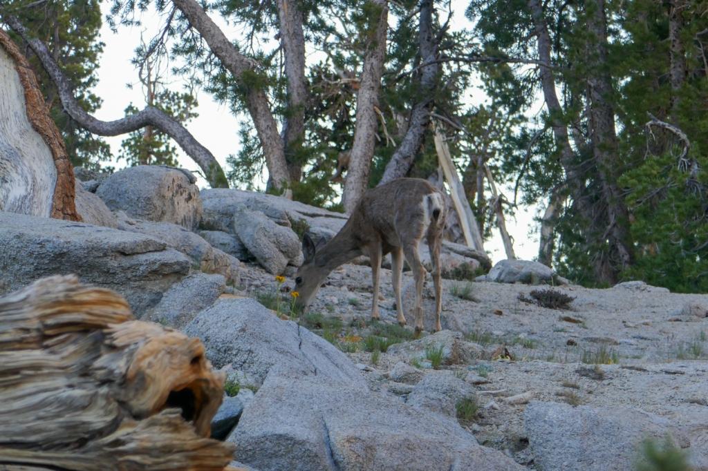 Mule Deer Matlock Lake.