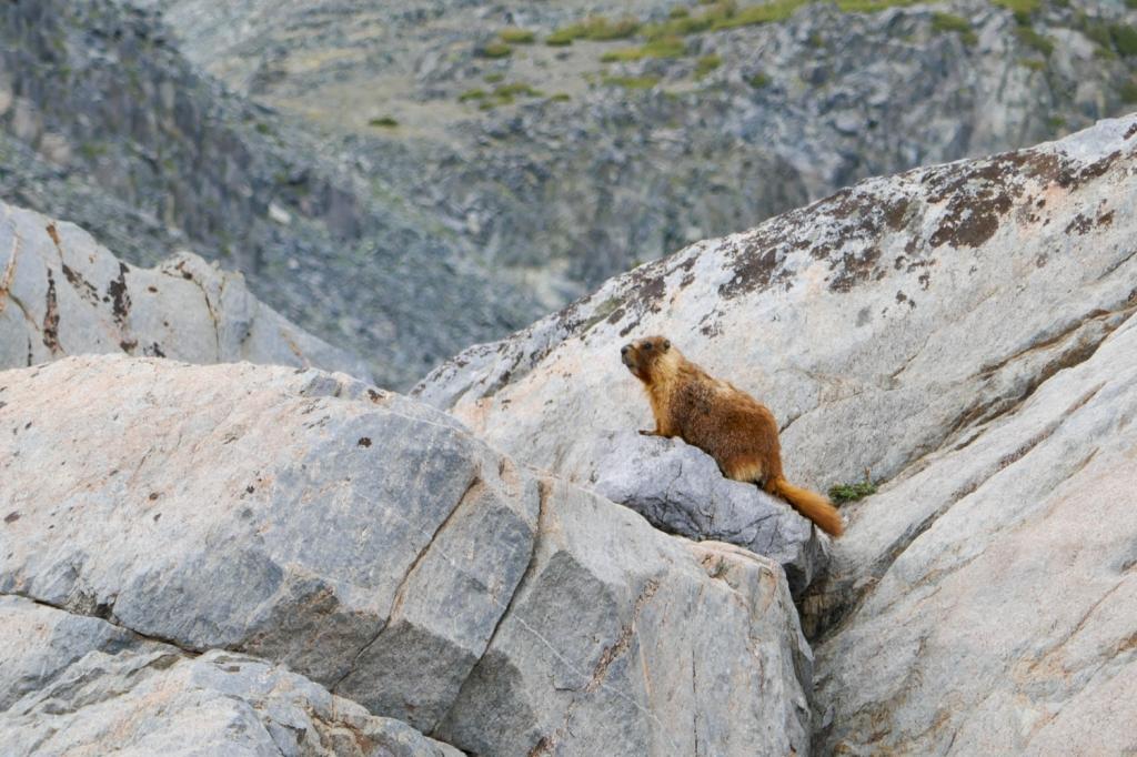 Marmot at Deer Lakes, Mammoth Lakes.