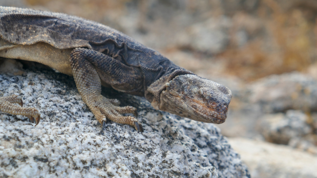 A distressed chuckwalla sits on a rock in the colorado desert.
