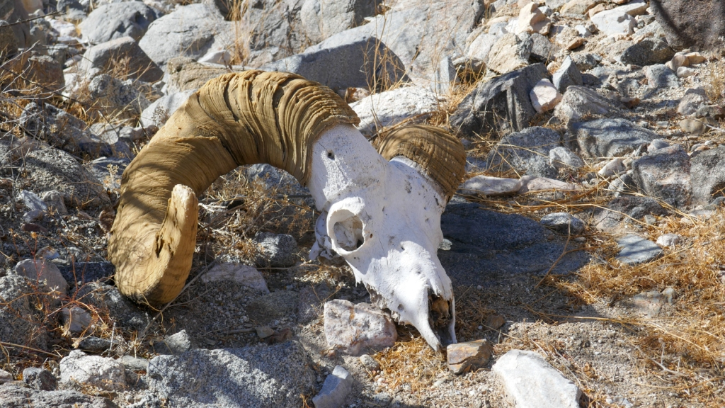 A big horned sheep skull in Imperial County.