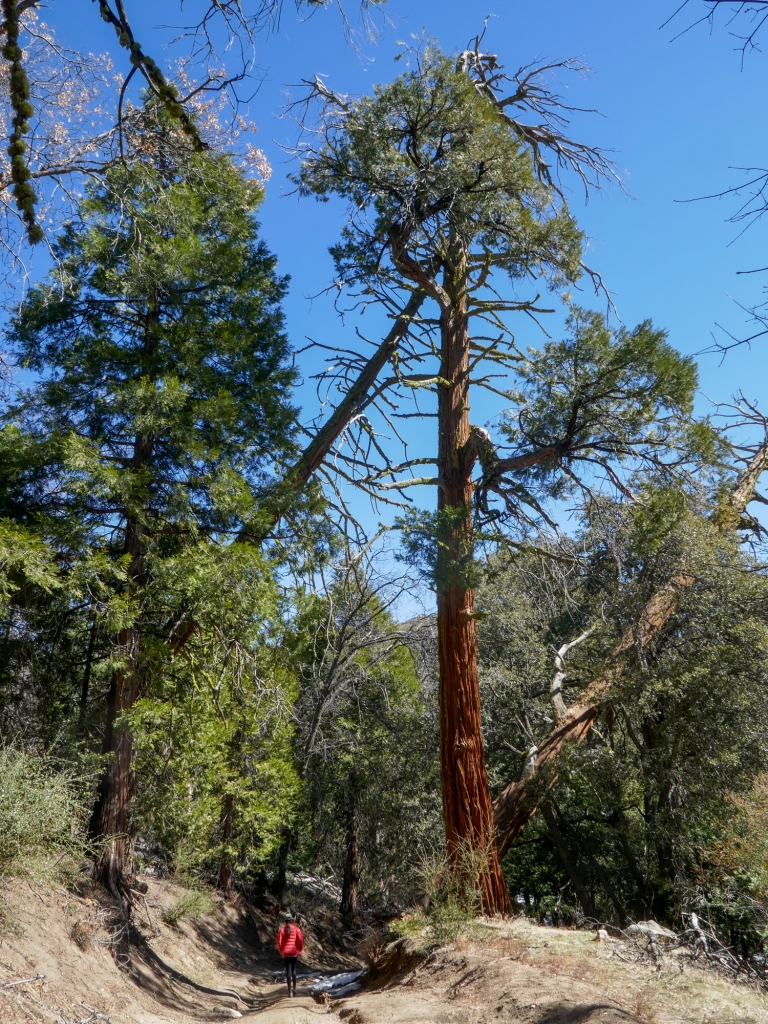 A large pine tree on the trail to Hot Springs Mountain.